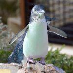 パースで出会える動物たち – ペンギン•アイランド