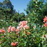 パースヒルズ特集 Patsy Durack's Rose Gardens(パッツィ•デュラックズ•ローズガーデン)