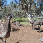 パース日帰り旅行特集 Free Range Emu Farm (フリーレンジ•エミューファーム)